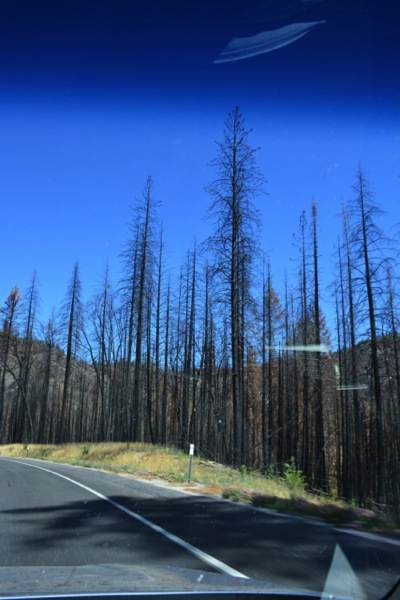 Rim Fire area, dead trees