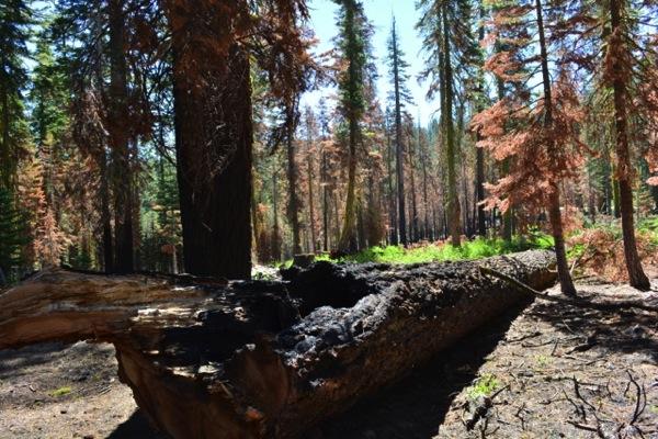 Rim Fire, fallen tree