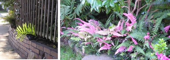 ferns inour garden, January 2004
