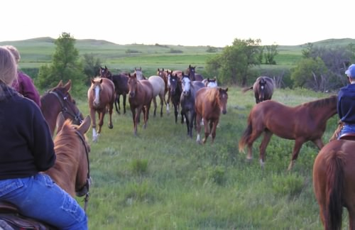 herd of young horses