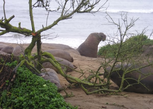 Elephant Seals at A�o Nuevo