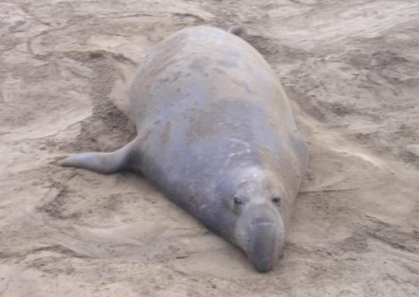 Elephant Seal at A�o Nuevo