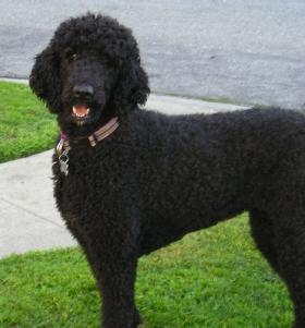 Greta, a Standard Poodle
