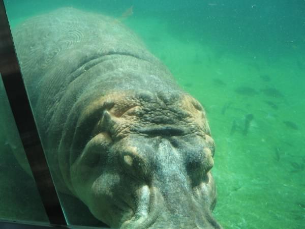 Hippo, San Diego Zoo